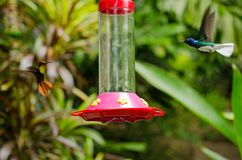Ruby Topaz- und Jacobin-Kolibris, Tobago Lizenzfreies Stockfoto