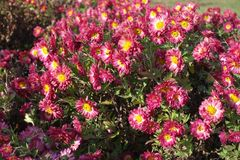Ruby and white daisy-like flowers of Chrysanthemum. Ruby and white daisy like flowers of Chrysanthemum Stock Images