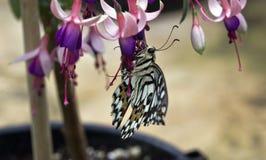 ruby wings 免版税库存图片