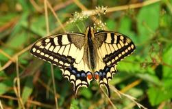ruby wings Стоковая Фотография