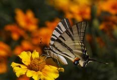 ruby wings Стоковые Изображения RF