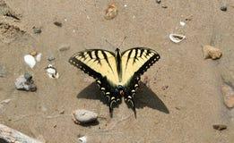 ruby wings Fotografering för Bildbyråer