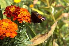 ruby wings Стоковое Фото