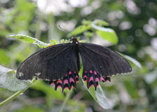 ruby wings Royaltyfri Bild