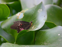ruby wings Royaltyfria Bilder