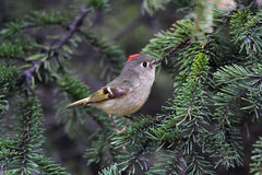 Rubycrowned Kinglet Royalty Free Stock Photography