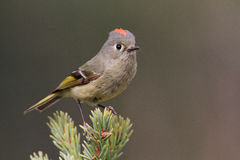 Rubycrowned Kinglet Stock Image
