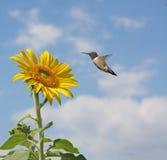 Rubythroated Hummingbird. Female rubythroated hummingbird beside a beautiful yellow sunflower against a clouded blue sky stock photo