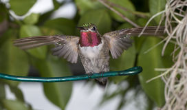 Rubythroatedt Hummingbird royalty free stock image