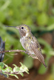 Rubythroatedt Hummingbird Royalty Free Stock Photos