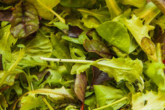Ruccola mix. For salad and cooking Stock Photo