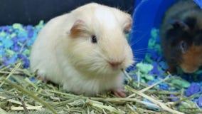 Ruch śmieszni króliki doświadczalni je świrzepy wśrodku klatki