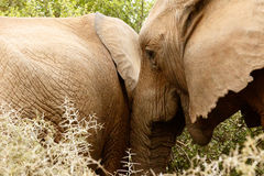 Ruch - afrykanina Bush słoń Obrazy Royalty Free