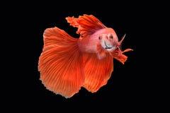 Ruch Betta ryba Zdjęcie Stock