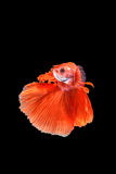 Ruch Betta ryba Obrazy Royalty Free