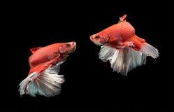 Ruch czerwień z białą siamese bój ryba Obraz Stock