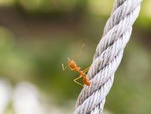 Ruch Czerwona mrówka zdjęcie stock