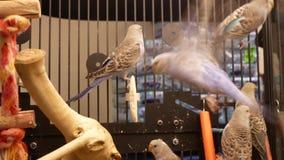 Ruch galanteryjny parakeet w klatce wśrodku petsmart sklepu zbiory wideo