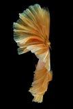 Ruch ogon złocista siamese bój ryba odizolowywająca na bla Zdjęcia Stock