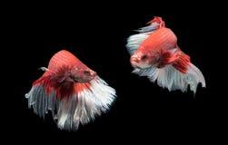 Ruch Piękna czerwień z białą siamese bój ryba, Zdjęcia Stock