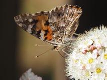 Ruche de papillon sur la fleur blanche image stock