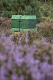 Ruche sur la bruyère de floraison en Hollande Photographie stock libre de droits