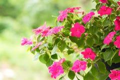 Ruchliwie Lizzie kwiaty Fotografia Royalty Free