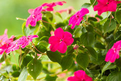 Ruchliwie Lizzie kwiaty Zdjęcie Royalty Free