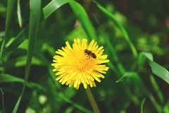 Ruchliwie pszczoła na letnim dniu fotografia royalty free