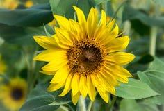 Ruchliwie pszczoła przy Anderson słonecznika gospodarstwem rolnym obraz stock