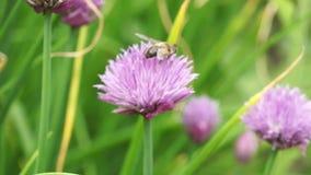 Ruchliwie pszczoły zbiory wideo