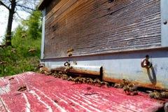 Ruchliwie pszczoły Wchodzić do przed rojem obrazy stock