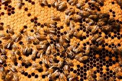 Ruchliwie pszczoły, zamykają w górę widoku pracujące pszczoły na honeycomb Zdjęcie Royalty Free