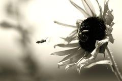 Ruchliwie pszczoła Zdjęcie Royalty Free