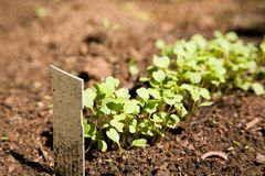 Rucola. Fresh rucola growing in vegetable garden, shallow focus Stock Photos
