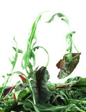 Rucola and Chard salad lightness concept Stock Images