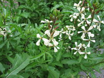 Rucola, eruca sativa. In garden Royalty Free Stock Photography