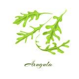 Rucola ou herbe d'arugula Photos libres de droits