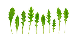 Rucola Rughetta, Arugola, Ruccola-Blätter stockfoto