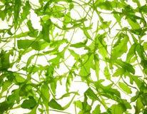 Rucola salad Royalty Free Stock Images