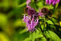 Ruda de prado Flor del campo Fotografía de archivo libre de regalías