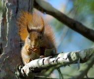 ruda wiewiórka Obraz Royalty Free