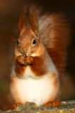 ruda wiewiórka