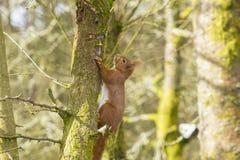 ruda wiewiórka Zdjęcia Stock