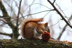 ruda wiewiórka Fotografia Stock