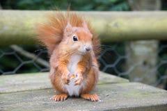 ruda wiewiórka Fotografia Royalty Free