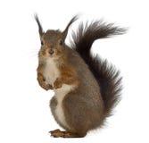 ruda wiewiórka Zdjęcie Royalty Free