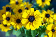 Rudbecia Royalty Free Stock Photos