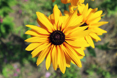 Rudbeckia 'Gloriosa Double Gold' large yellow flower with brown center.  Stock Image