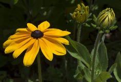 Rudbeckia Сьюзан или маргаритка Gloriosa Черно-наблюданные Hirta Стоковые Изображения